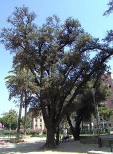 Alzina Quercus ilex | Barri de les Corts