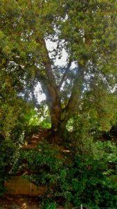 Alzina Quercus ilex | Les Planes