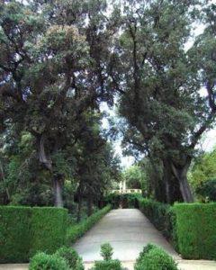 Alzines Quercus ilex | Parc del Laberint d'Horta