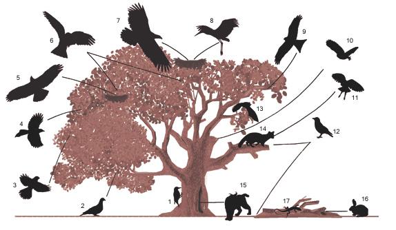 alzina dibuixada per Susanna Campillo