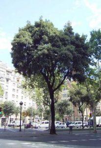 Alzina Quercus ilex | Barri de l'Eixample