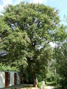 Alzina Quercus ilex | Jardins de Can Sentmenat, Sarrià de Munt